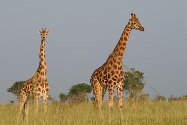 žirafy na safari.jpg