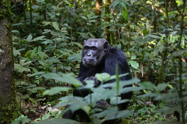 šimpanz v lese.jpg
